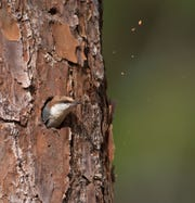 Brown-headed nuthatch tossing sawdust.
