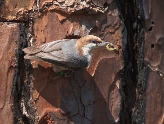 Brown-headed nuthatch with caterpillar