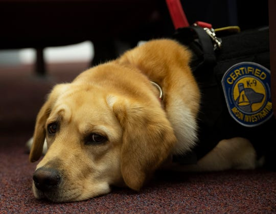 St. Lucie County Fire District's first accelerant-detection canine, Camy, a 2-year-old Golden Retriever and Labrador Retriever mix, takes a rest during the agency's board meeting where she was officially sworn into duty Wednesday, May 15, 2019, at the St. Lucie County Fire District's administrative building in Port St. Lucie.