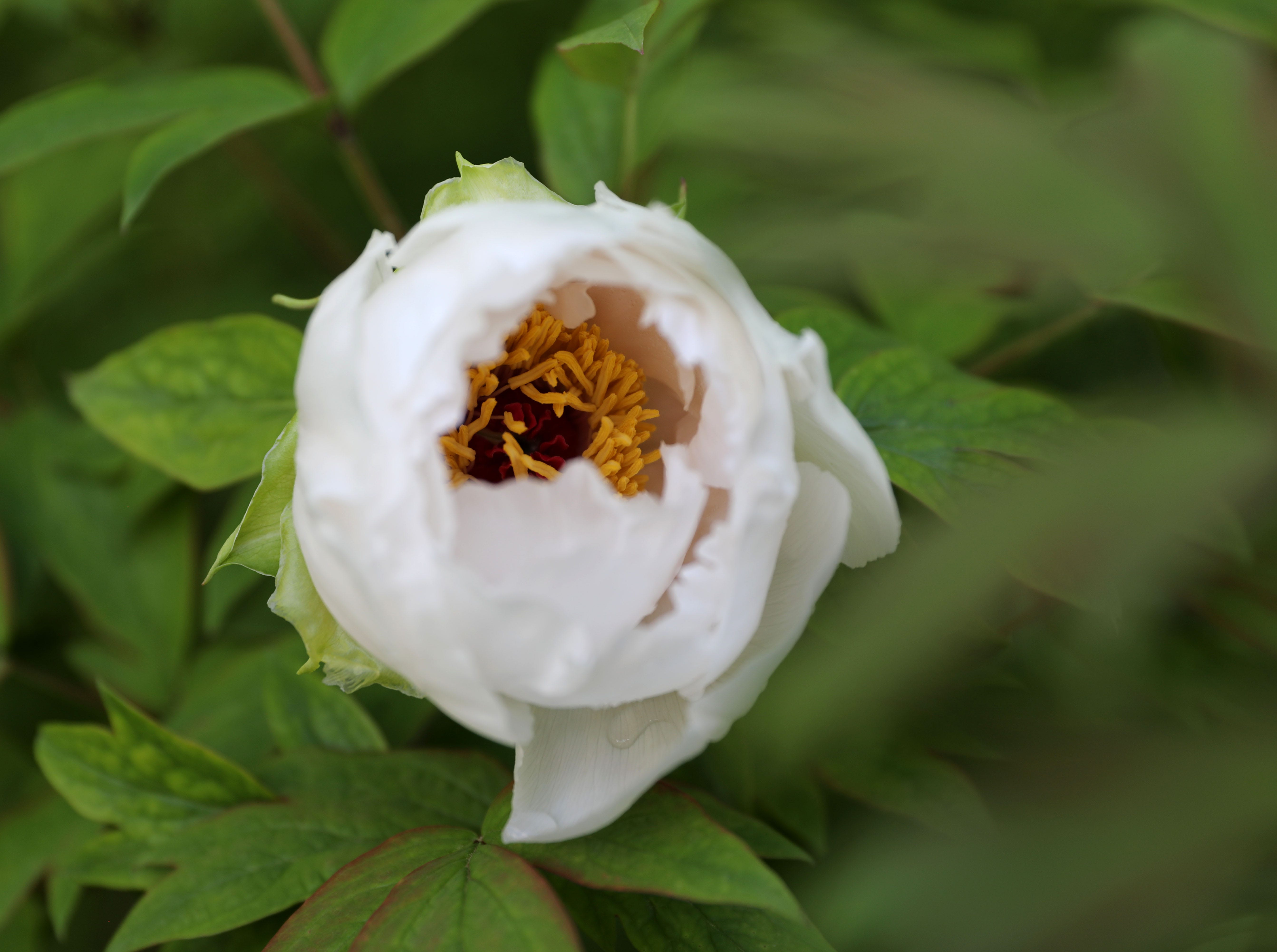 A peony begins to bloom at Rockefeller State Park Preserve in Pleasantville May 15, 2019. The 500 tree plants were a gift from Yatsuka Cho, a small town in Japan, to the Friends of the Rockefeller State Park Preserve to help unite the two countries after September 11.