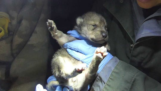 A new wolf pup was born in the Wolf Conservation Center in South Salem  in April.