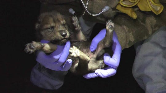 A wolf pup was born in and will continue the growth of a species that nearly went extinct in the mid 1980s.