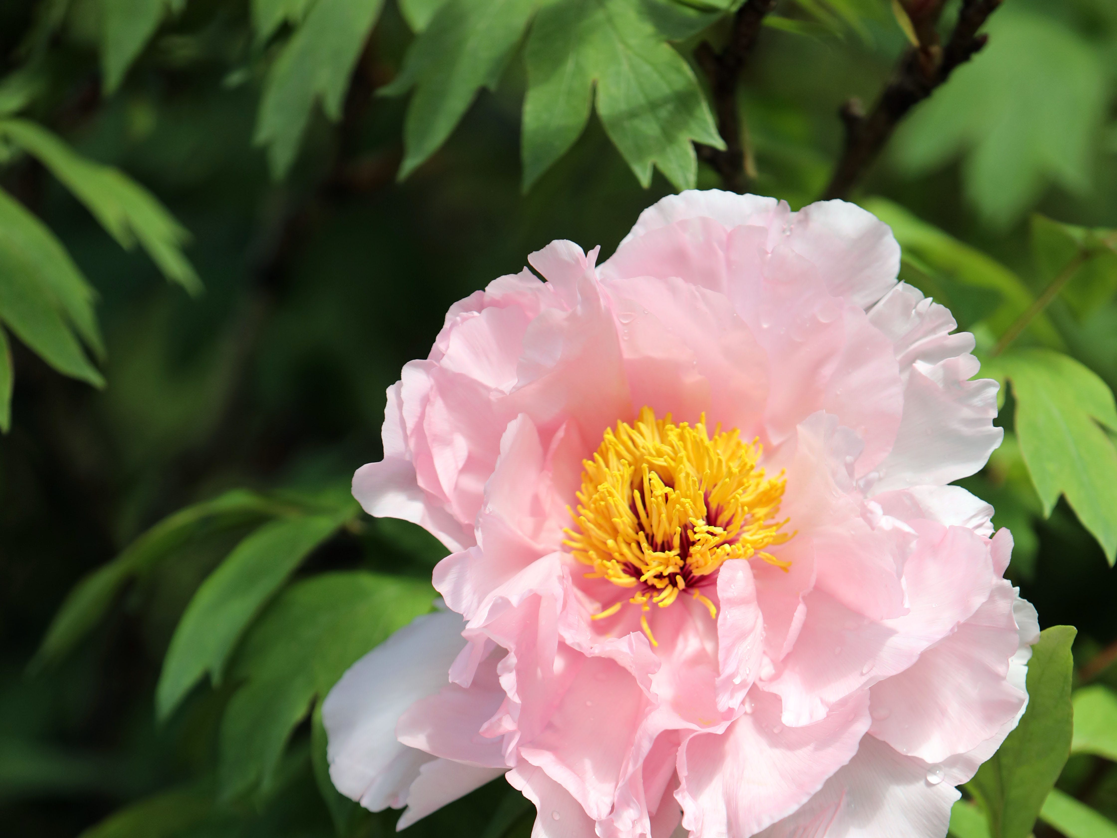 Peonies in bloom, which will last about 7-10 more days, at Rockefeller State Park Preserve in Pleasantville May 15, 2019. The 500 tree plants were a gift from Yatsuka Cho, a small town in Japan, to the Friends of the Rockefeller State Park Preserve to help unite the two countries after September 11.