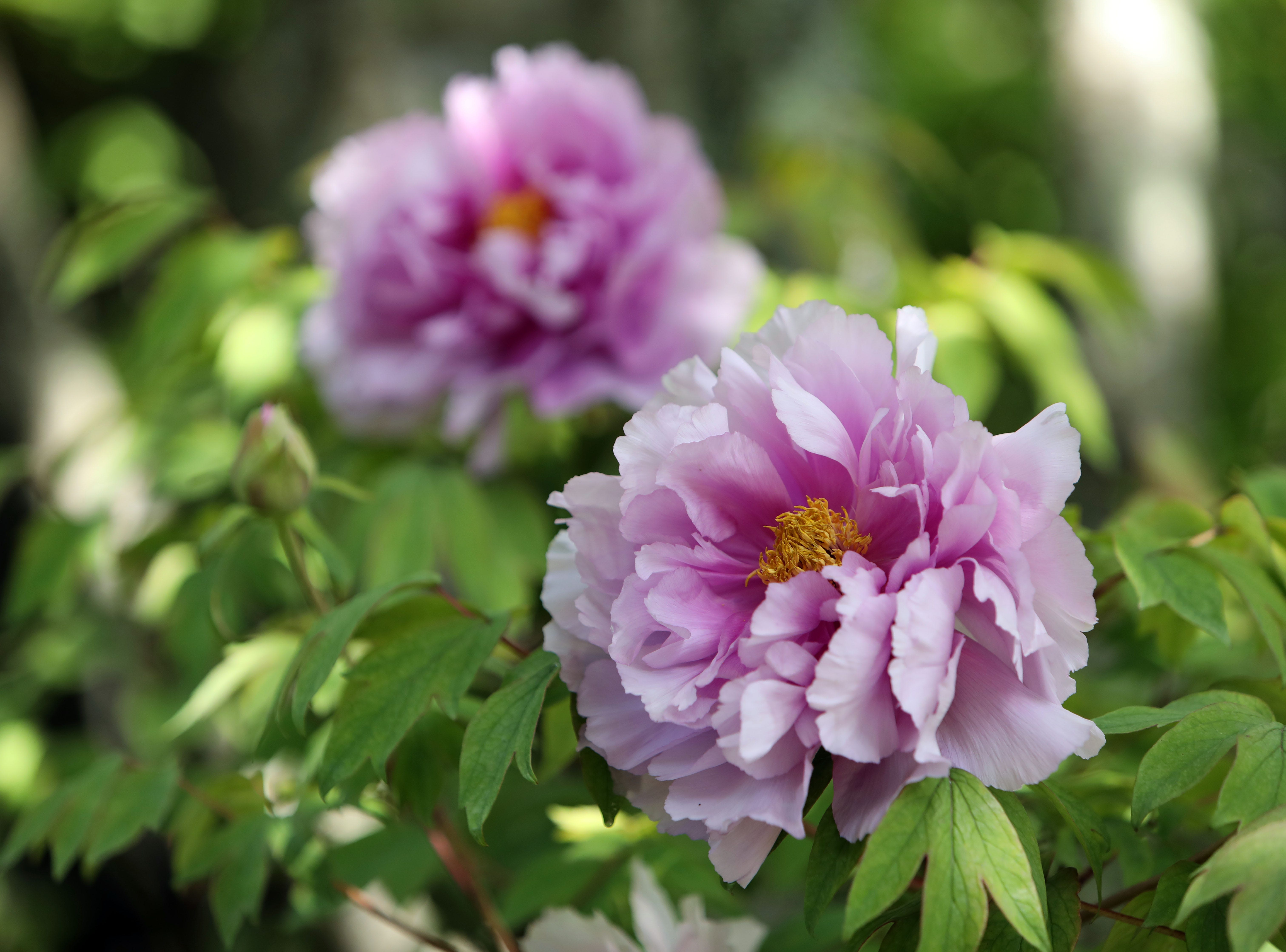 Peonies in full bloom, for about one more week, at Rockefeller State Park Preserve in Pleasantville May 15, 2019. The 500 tree plants were a gift from Yatsuka Cho, a small town in Japan, to the Friends of the Rockefeller State Park Preserve to help unite the two countries after September 11.
