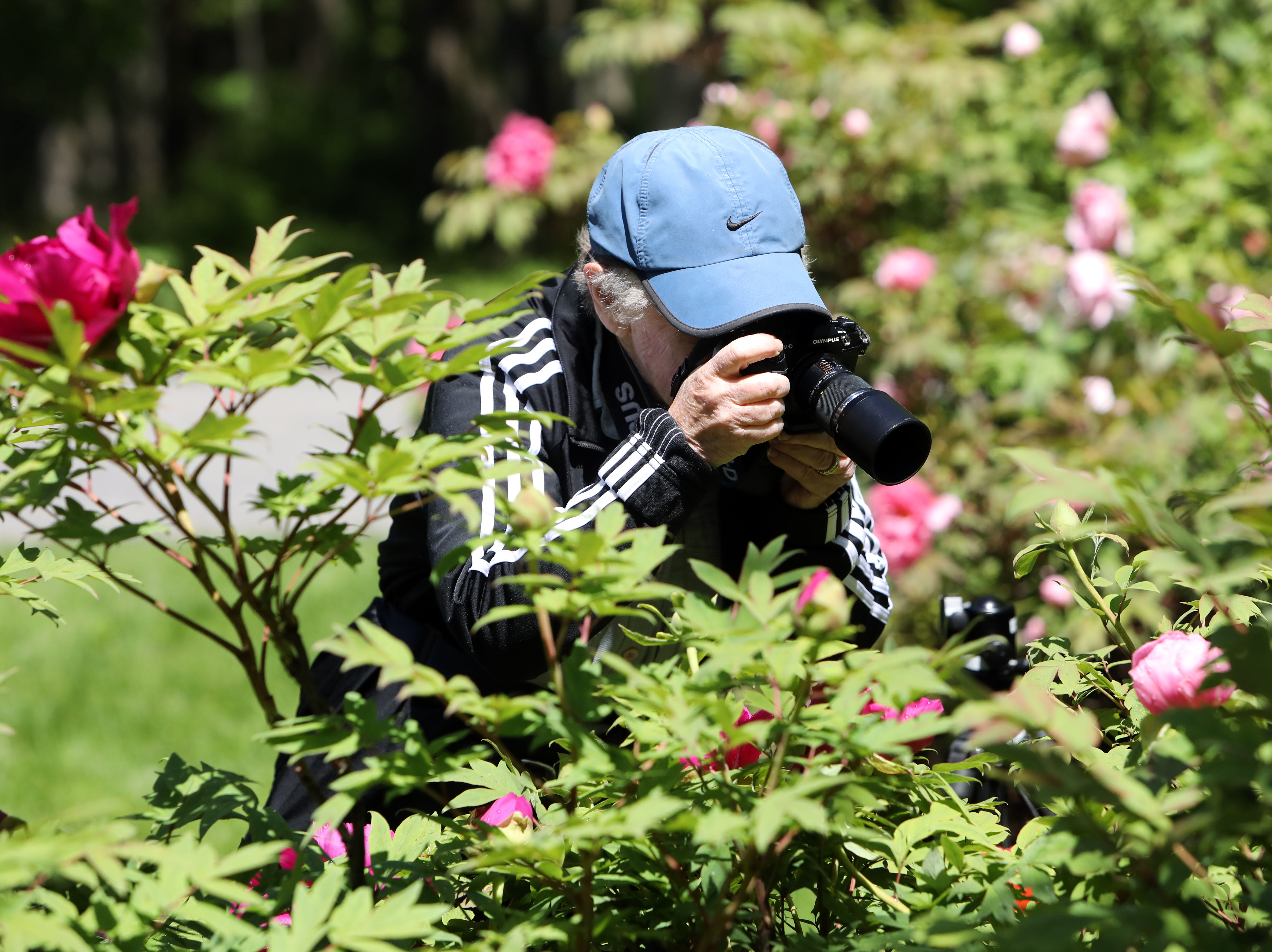 Linda Austrian, 77, of Harrison photographs a peony in full bloom at Rockefeller State Park Preserve in Pleasantville May 15, 2019. Austrian and a few others from the Westchester Photographic Society our celebrating a friend's birthday by photographing the peonies followed by lunch.