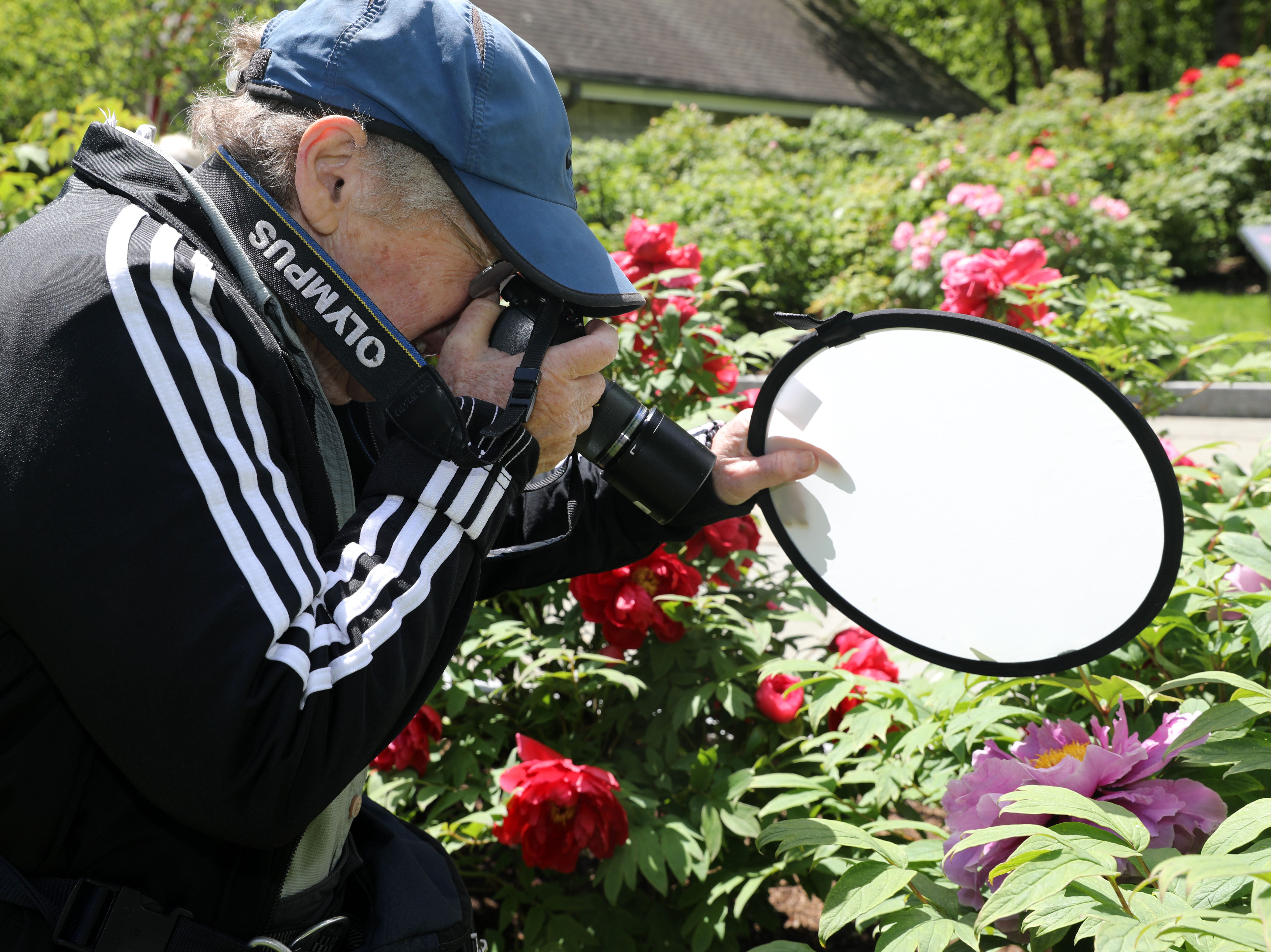 Linda Austrian, 77, of Harrison uses a diffuser to photograph a peony in full bloom at Rockefeller State Park Preserve in Pleasantville May 15, 2019. Austrian and a few others from the Westchester Photographic Society our celebrating a friend's birthday by photographing the peonies followed by lunch.
