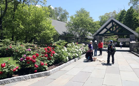 Peonies in full bloom, which will last about 7-10 more days, at the Rockefeller State Park Preserve in Pleasantville May 15, 2019. The 500 tree plants were a gift from Yatsuka Cho, a small town in Japan, to the Friends of the Rockefeller State Park Preserve to help unite the two countries after September 11.