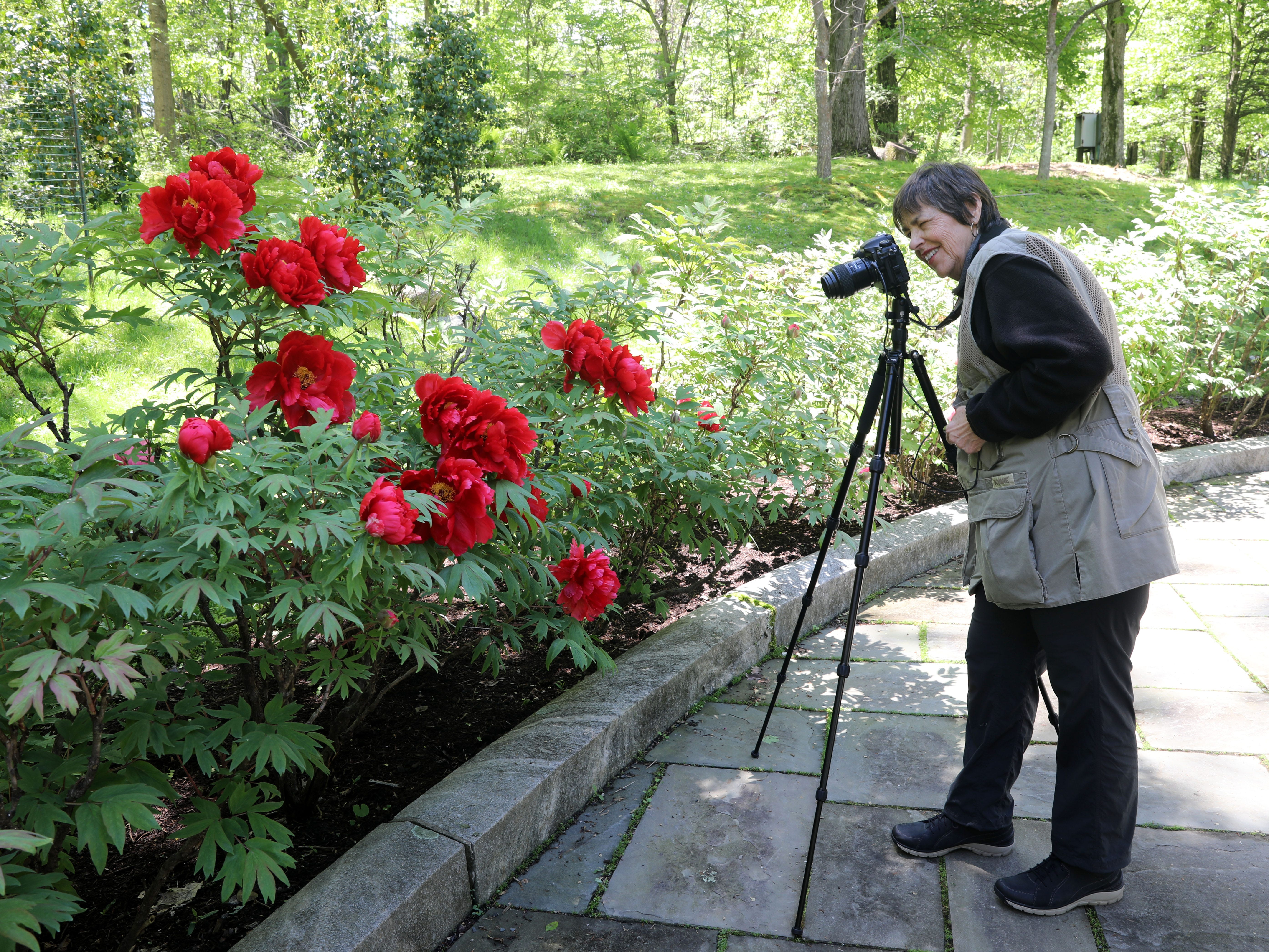 Jackie Ross of Brewster celebrates her birthday by photographing peonies with her friends from the Westchester Photographic Society at Rockefeller State Park Preserve in Pleasantville May 15, 2019. The 500 tree plants were a gift from Yatsuka Cho, a small town in Japan, to the Friends of the Rockefeller State Park Preserve to help unite the two countries after September 11.