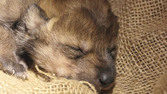 The new wolf pup was sent to Arizona and successfully placed in the den of the Saffel wild wolf pack, where the breeding female had recently given birth to her own litter.
