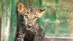 This baby leopard's survival was entirely dependent on whether or not he'd get into a dangling box.
