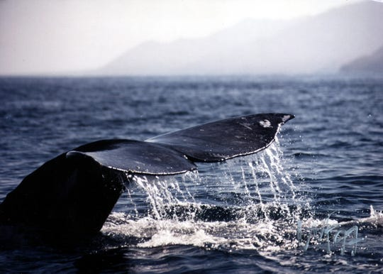 A gray whale that has migrated 6,000 miles from Alaska to spend the winter in Mexico's Magdalena Bay.