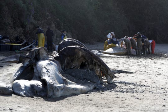 The carcass of a male gray whale sits on the beach as scientists and volunteers with the Marine Mammal Center and California Academy of Sciences perform a necropsy on a female gray whale that washed up on the shores of the San Francisco Bay on April 23, 2019 in Tiburon, California.