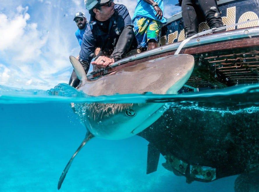 Help study and tag sharks at Grand Isle Resort & Spa