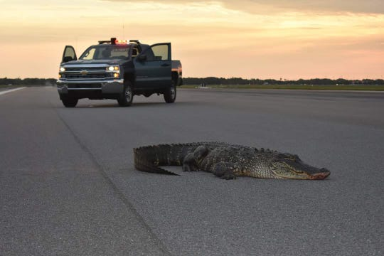 Staff at a U.S. Air Force base in Florida had to bring in a front-end loader to remove an alligator that was lounging on a runway.
