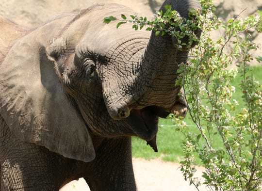 Kedar, a 13-year-old male African elephant at the Indianapolis Zoo, is recovering from Elephant Endotheliotropic Herpesvirus on March 15, 2019. Two other elephants died of the rare virus at the zoo earlier this year.