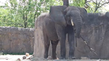 Kedar, an African elephant, goes outside at the Indianapolis Zoo on May 15, 2019, after 10 days of treatment for Elephant Endotheliotropic Herpesvirus