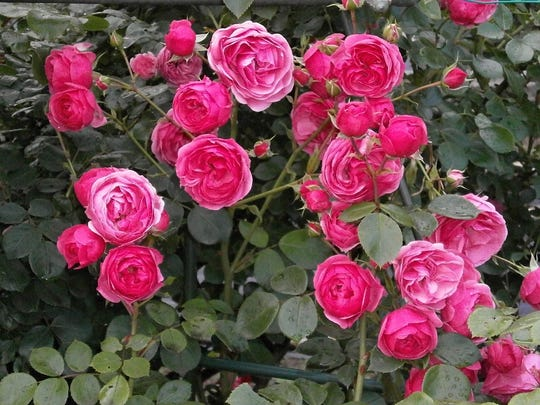 Miniature roses come in a variety of colors and can produce lots of blooms.