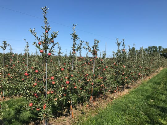 High-density cider apple trees for Greg Peck's research program at the Cornell Orchards in Ithaca.