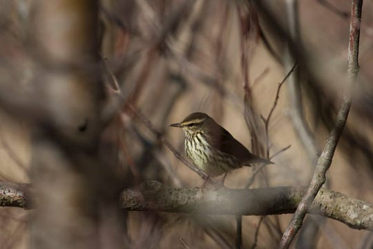 A northern waterthrush, a warbler that nests at Woodland Dunes in Two Rivers.