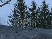 Moving around Hamilton, a skeleton horse, has become a popular gag for a Summit family and their neighbors.