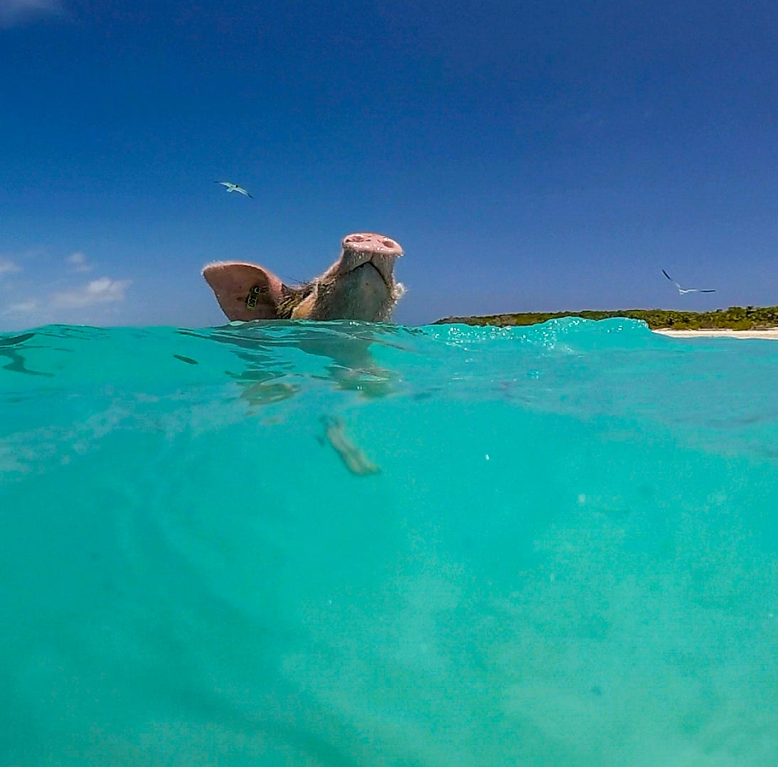 Our World: Tranquil waters, swimming pigs make Exuma in the Bahamas a unique place