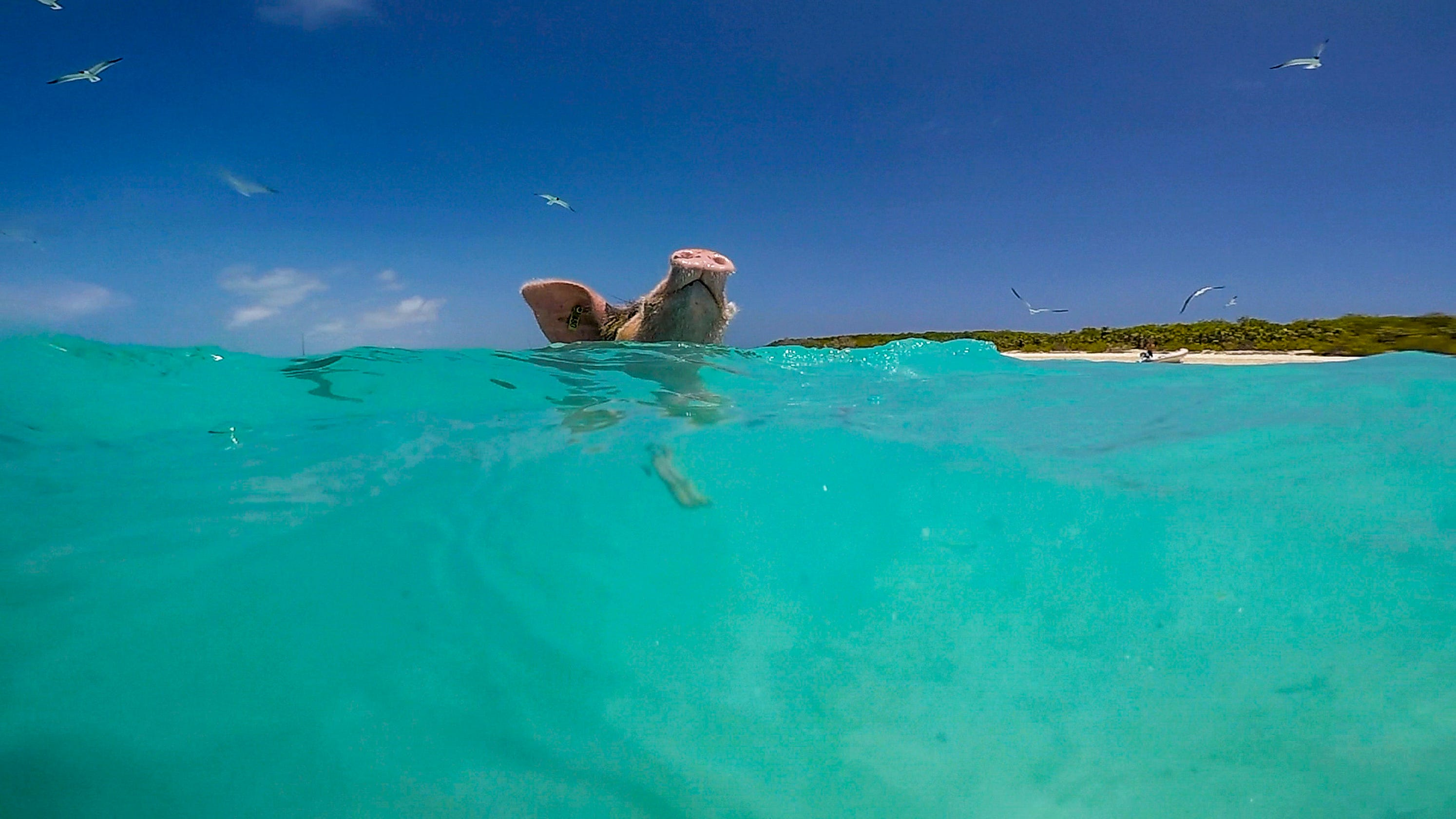 Swimming pigs, tranquil waters make Exuma in the Bahamas special