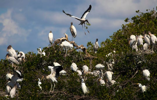A wood stork looks for a nesting area along one of the rookery islands on the Caloosahatchee River.
