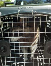 A raccoon named Foster sits in a Florida Fish and Wildlife Conservation Commission carrier on the day that Connie Simmons said he was taken away from her.