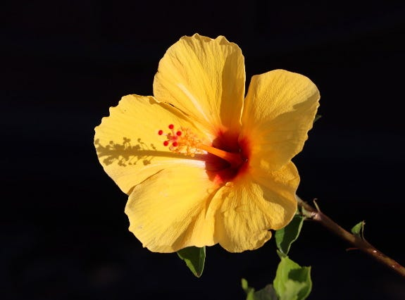 I was walking around my community in Apache Junction after it rained and luckily I brought my camera, I saw this  big, beautiful, yellow flower with some rain drops on it's petals and I got this photo that I wanted to share.