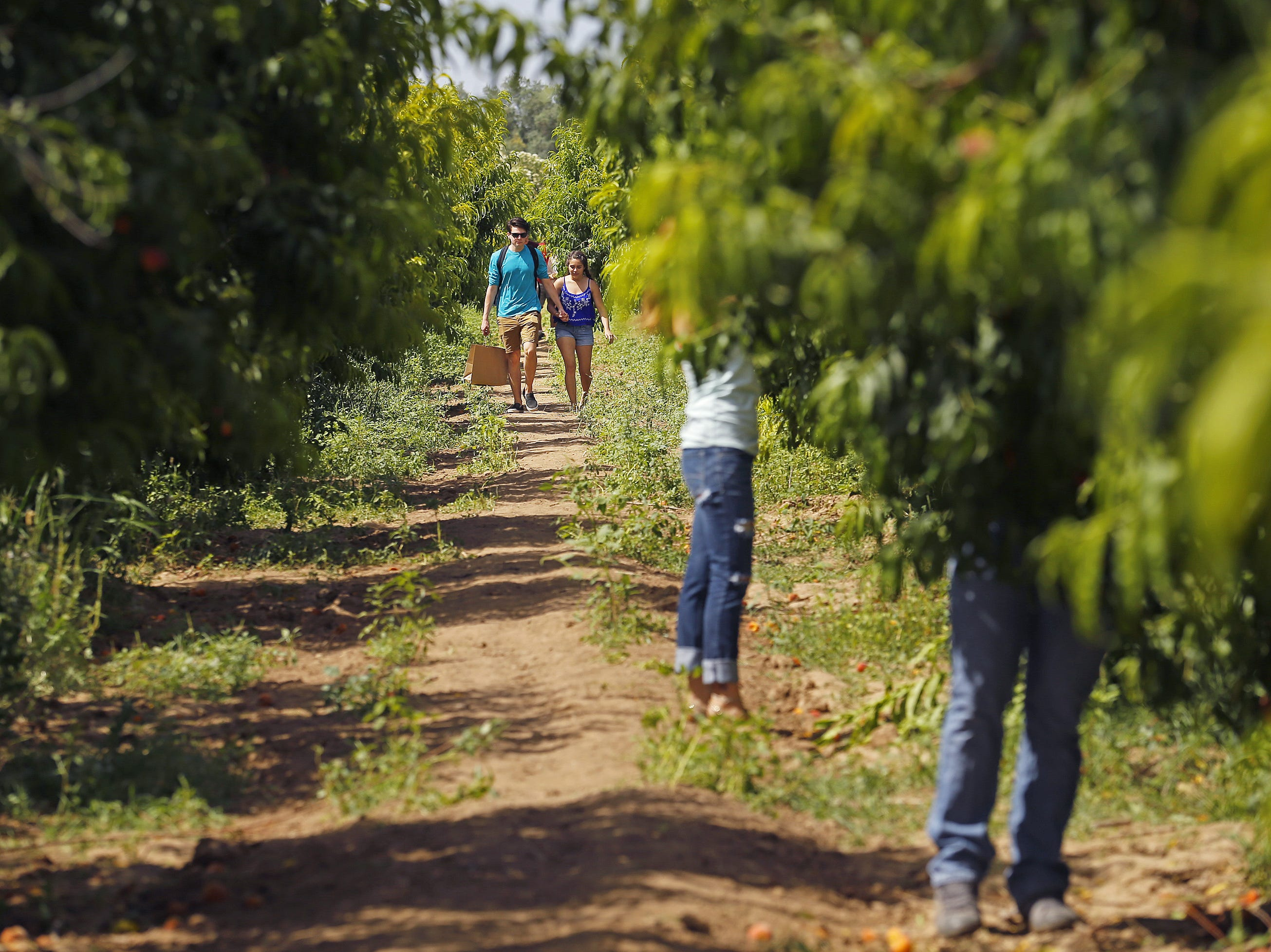 PICK PEACHES AT SCHNEPF FARMS: Schnepf Farms is expanding its peach picking festival over multiple weekends, allowing visitors to pick the ripe fruit over about six weeks from April through May.