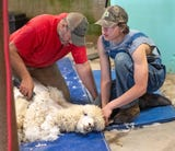It was a big day for shearing May 11 at Painted Spring Farm, where a month earlier several alpacas were killed in a dog attack.