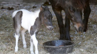 Ages Equine Sanctuary found that the expecting mini horse mom gave birth overnight to colt Sawyer. The sanctuary also has a call for volunteers.