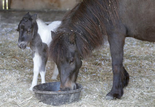 Mini horse colt Sawyer stands by his mom Blackberry at Amazing Grace Equine Sanctuary, Wednesday, May 15, 2019, near Plymouth, Wis. Sawyer was born in the early hours on Tuesday.