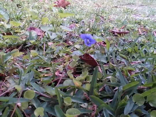 Native violets growing in Seville St. Augustine.