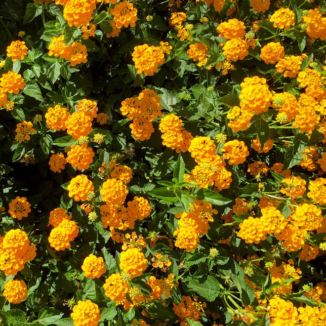 """""""New Gold"""" lantanas is a triploid. That means that it, like a mule, is sterile and incapable of reproducing."""