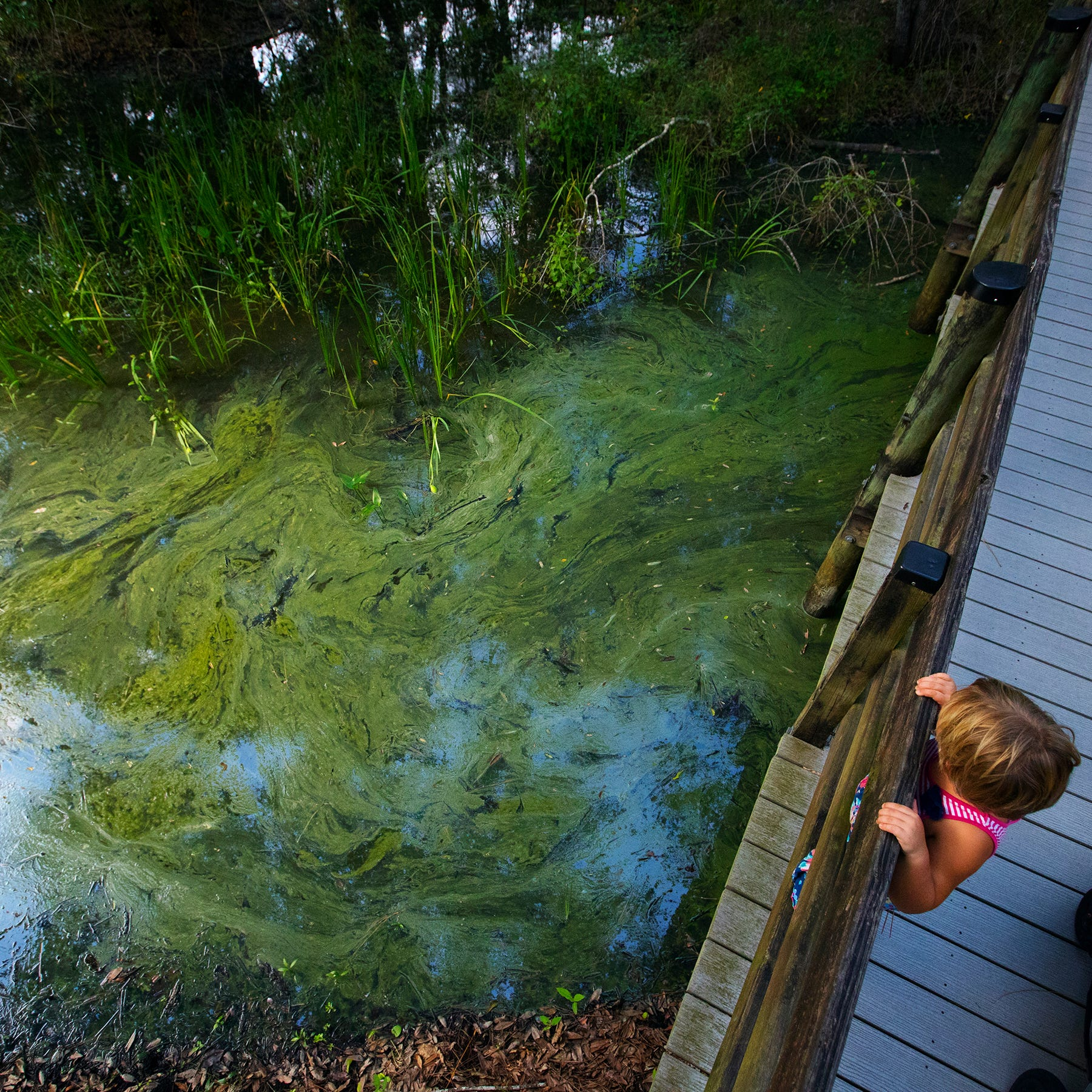Algae bloom appears at Six Mile Cypress Slough Preserve in Fort Myers