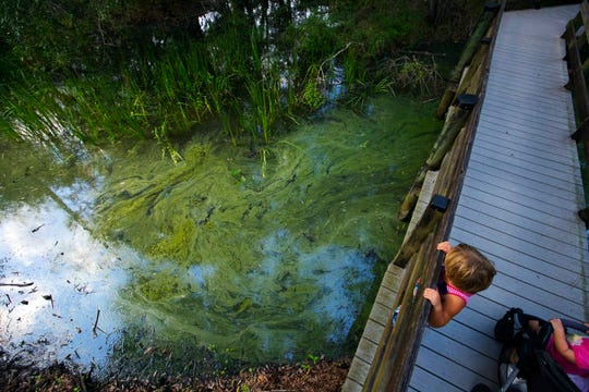 An algae bloom emerges on Thursday in a waterway at Six Mile Cypress Slough Preserve in Fort Myers.