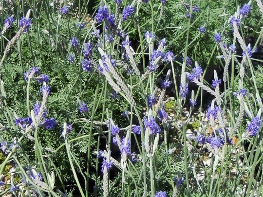 Lavender's scent comes from the essential oils that are on its leaves. It not only repelsmosquitoes but some say it stops the mosquito's ability to smell.