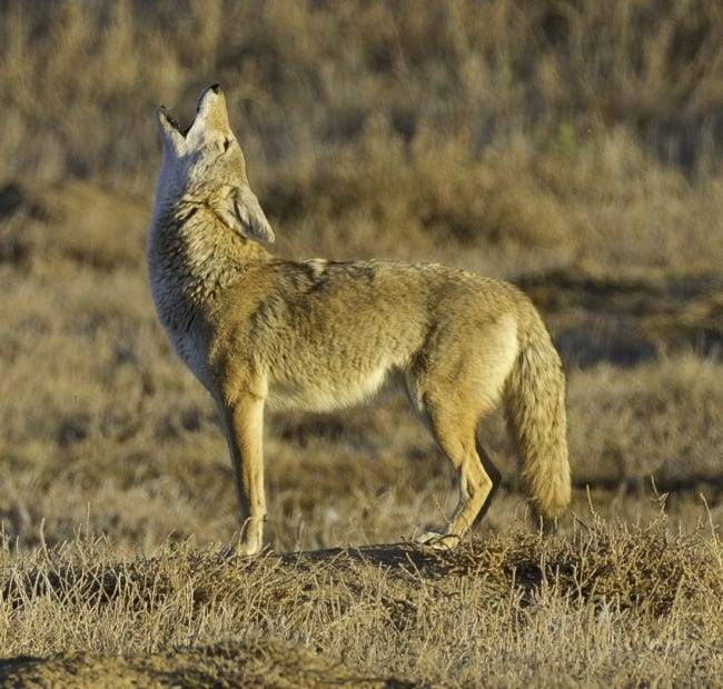 A coyote's howl is distinctive, mixed with yips, high-pitched yelps and yodels. [USFWS]