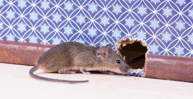 Before the cold weather hits, take some time to look around your home for areas that would attract mice and to seal up any openings that would provide access to your home. [PROVIDED/OSU EXTENSION]
