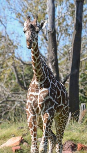 The Oklahoma City Zoo and Botanical Garden has added a 2-year-old giraffe named Mashamba to its herd. [Photo provided]
