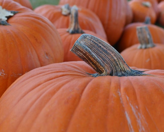 Your Halloween pumpkin can provide nutrition for wild birds. Cut a large mouth on the side of the pumpkin, then create a hanging apparatus with rope to suspend your natural bird feeder. [LINDA LYNN/THE OKLAHOMAN]
