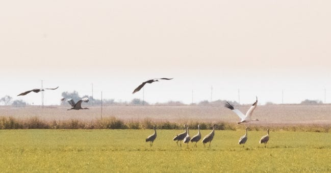 A lone whooping crane (white bird with black wing tips) flies at the Hackberry Flat Wildlife Management Area on Friday surrounded by sandhill cranes. Whooping cranes are endangered, and only about 500 exist in the world. [PHOTO BY SARAH SOUTHERLAND/ODWC]