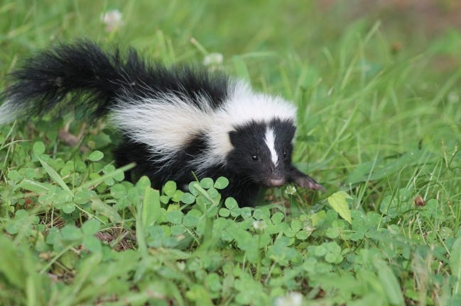 A baby skunk explores a field of clover and grass. [KEVIN VANGORDEN/FLICKR]
