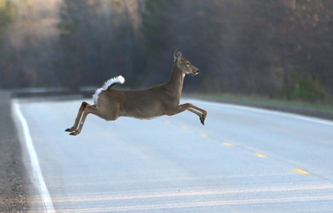 Oklahoma motorists should keep a close watch for deer on the road in the month of November. The rut, or mating season for deer, occurs in November. That, along with colder weather, have deer on the move. More motorists strike deer in November than any other month of the year. [AP Photo/Carlos Osorio]