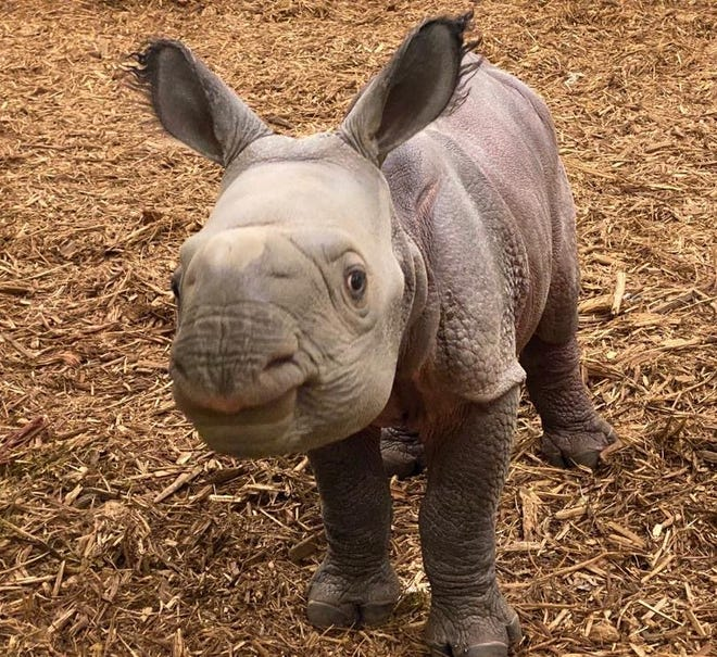 The Oklahoma City Zoo is inviting the public to vote on names for its baby female Indian rhino, which was born Oct. 23. [Rachel Emory photo]