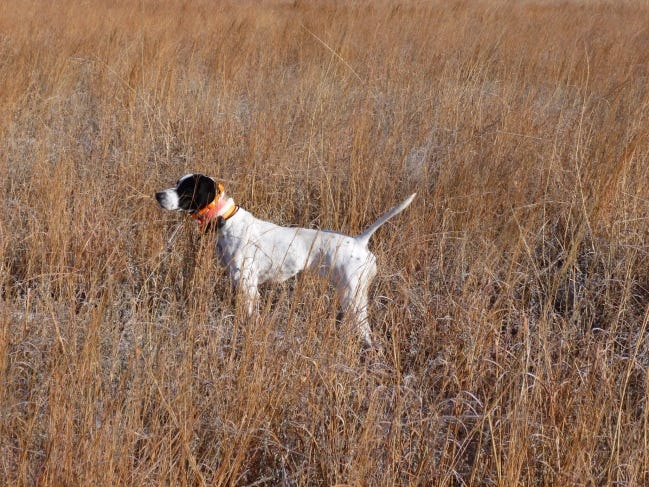Bird dogs will being their pursuit of bobwhites on Nov. 14 when the state's quail season opens. [PHOTO PROVIDED BY JOHN BELLAH]