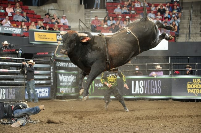 The bucking bull, Chiseled, owned by the Flinn/D&H Cattle Company is the top-ranked bull on the PBR this season. Chiseled and 24 other Oklahoma bulls will be showcased in the PBR World Finals which begins Thursday in Arlington, Texas. [ANDY WATSON/BULL STOCK MEDIA]