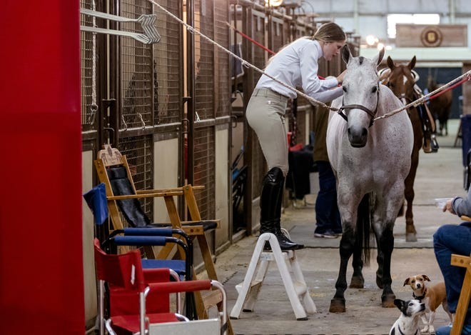 A contestant preps her horse Tuesday for competition in the American Quarter Horse Association World Championship Show at the OKC Fairgrounds. The show runs through Saturday.