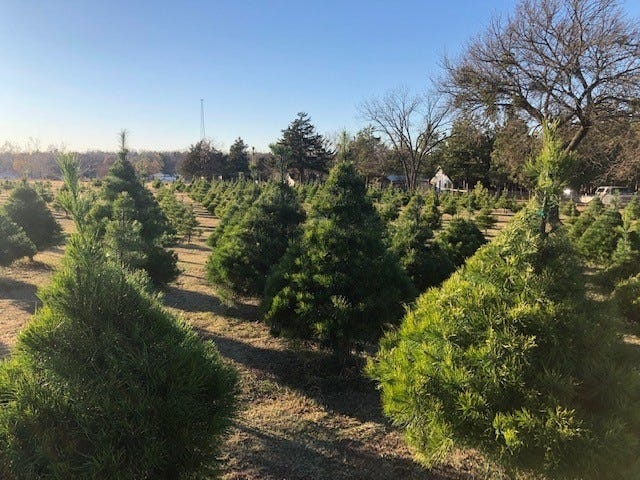 Cutting your own Christmas tree can be a fun family outing. [PHOTO PROVIDED/GARY EUBANKS/CROSS TIMBERS CHRISTMAS TREE FARM]